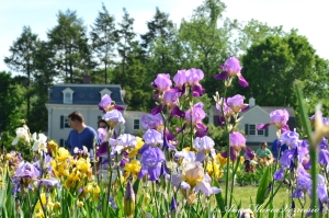 Irises in full bloom